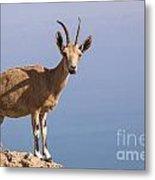 Male Nubian Ibex 1 Metal Print