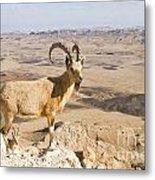 Male Nubian Ibex Capra Ibex Nubiana 1 Metal Print