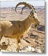 Male Nubian Ibex Capra Ibex Nubiana Metal Print