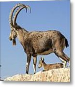Male Nubian Ibex Metal Print
