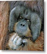 Male Orangutan  Metal Print