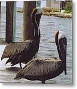 Male Pelicans Metal Print