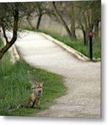 Male Red Fox Vulpes Vulpes Metal Print