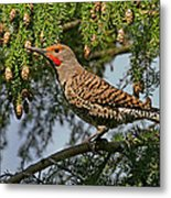 Male Red-shafted Northern Flicker Metal Print