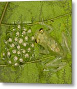 Male Reticulated Glass Frog  Guarding Metal Print