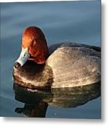 Male Ring Neck Metal Print
