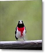 Male Rose-breasted Grosbeak Metal Print