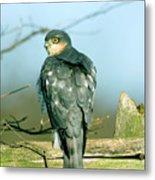 Male Sparrowhawk Metal Print