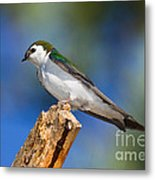 Male Violet-green Swallow Metal Print