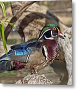 Male Wood Duck Dwf029 Metal Print