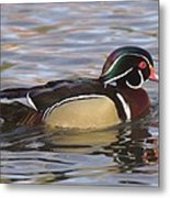 Male Wood Duck  Metal Print
