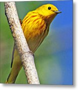 Male Yellow Warbler Metal Print