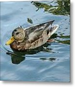 Solitaire Mallard Duck Metal Print