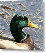 Mallard Duck Portrait Metal Print