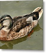 Mallard Duck Series #1 Metal Print