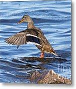 Mallard Duck Showing Off Metal Print