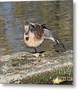 Mallard Duck Stretch  Metal Print