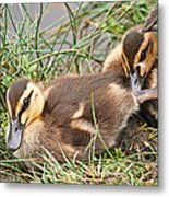 Mallard Ducklings And Mom Metal Print