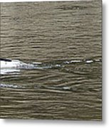 Mallard Ducks   #8479 Metal Print