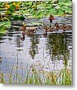 Mallard Ducks In Heron Pond In Grand Teton National Park-wyoming  Metal Print