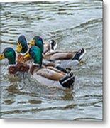 Mallard Ducks In Vee Formation Metal Print