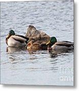 Mallard Ducks Sleeping Metal Print