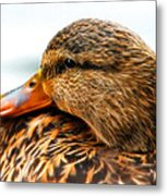 Mallard Hen Close Up Metal Print