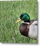 Mallard In The Grass Metal Print
