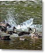 Mallard Water Party 2 Metal Print