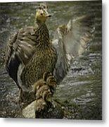 Mama Duck Protecting Her Babies Metal Print
