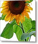 Mammoth Sunflower Metal Print