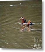 Mandarin Duck 20130507_45 Metal Print