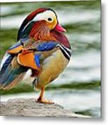 Mandarin Duck Posing Metal Print