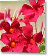 Mandevilla Named Sun Parasol Crimson Metal Print