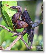 Mangrove Tree Crab Metal Print