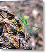Mantis On A Pine Cone Metal Print