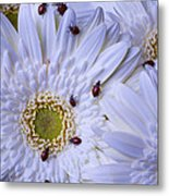 Many Ladybugs On White Daisy Metal Print by Garry Gay