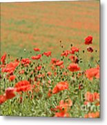 Many Poppies Metal Print