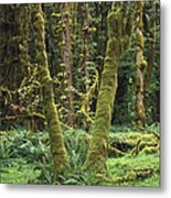 Maple Glade Quinault Rain Forest Metal Print
