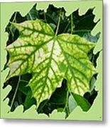 Maple Leaf In The Laurel Metal Print