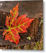 Maple Leaf On Oak Stump Metal Print