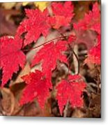 Maple Leaf Palette Metal Print