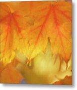 Maple Leaves (acer Saccharum) Metal Print