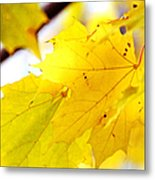 Maple Leaves At Autumn Glory 1 Metal Print