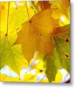 Maple Leaves In Autumn Glory Metal Print