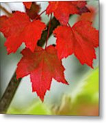 Maple Leaves Show Off Their Autumn Hues Metal Print