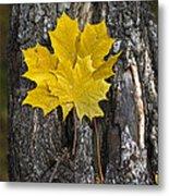 Maple-leaves Metal Print