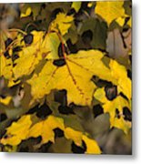 Maple Leaves With Tar Spot Metal Print