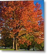 Maple Trees Metal Print