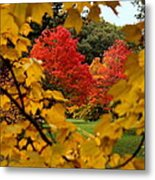 Maples In View Metal Print